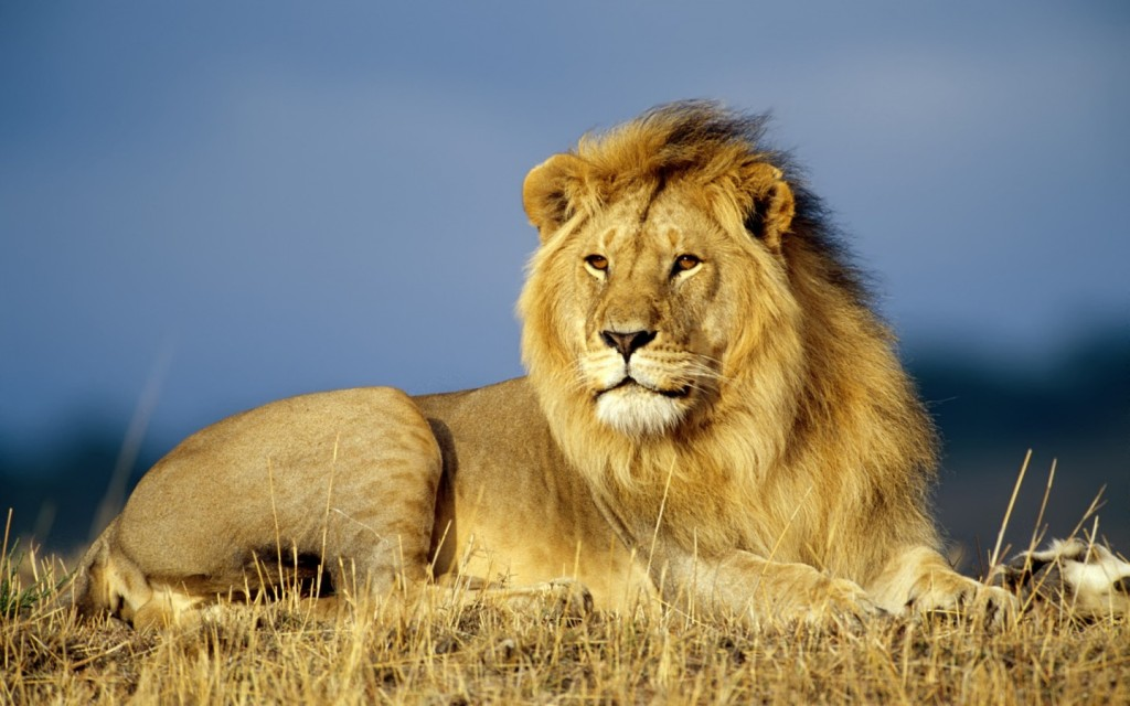 african-lion-wallpaper
